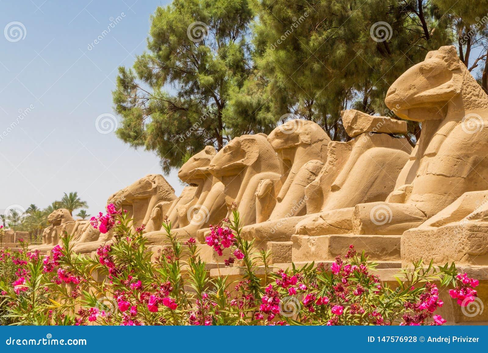 Feche acima das estátuas na aleia de Ram Headed Sphinxes com as flores dos oleandros no templo de Karnak em Luxor, Egito