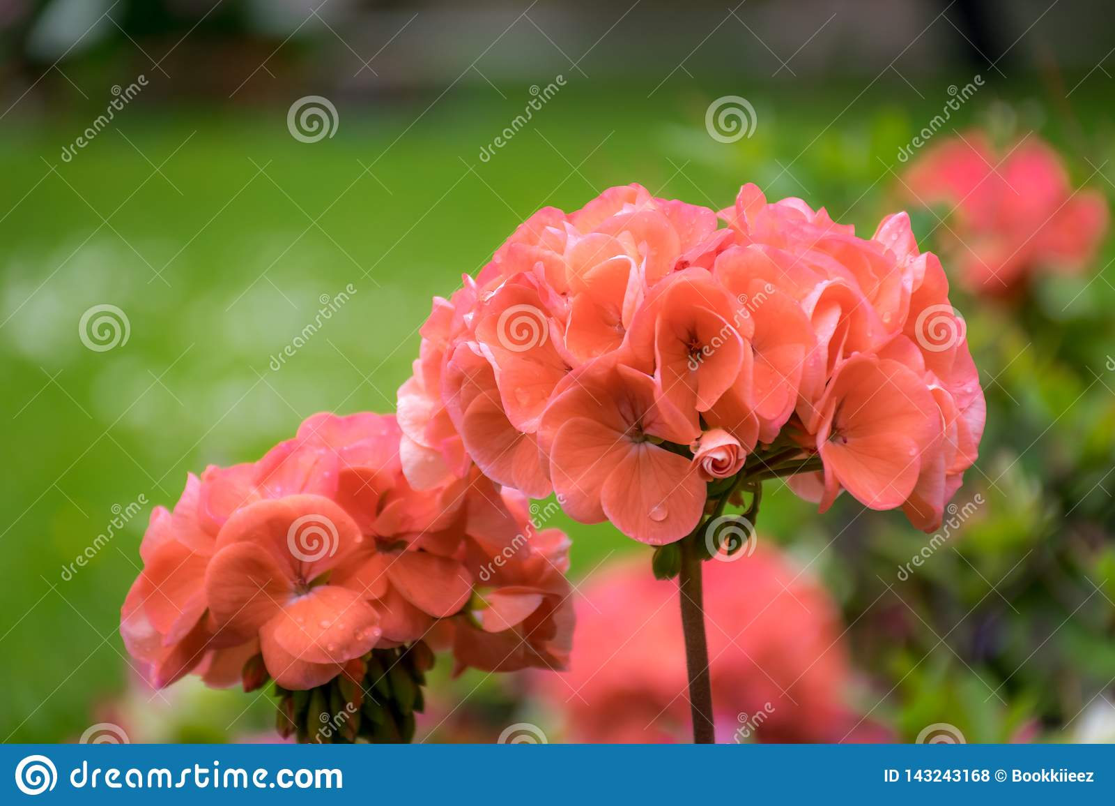 Feche acima das flores vermelhas do gerânio no jardim