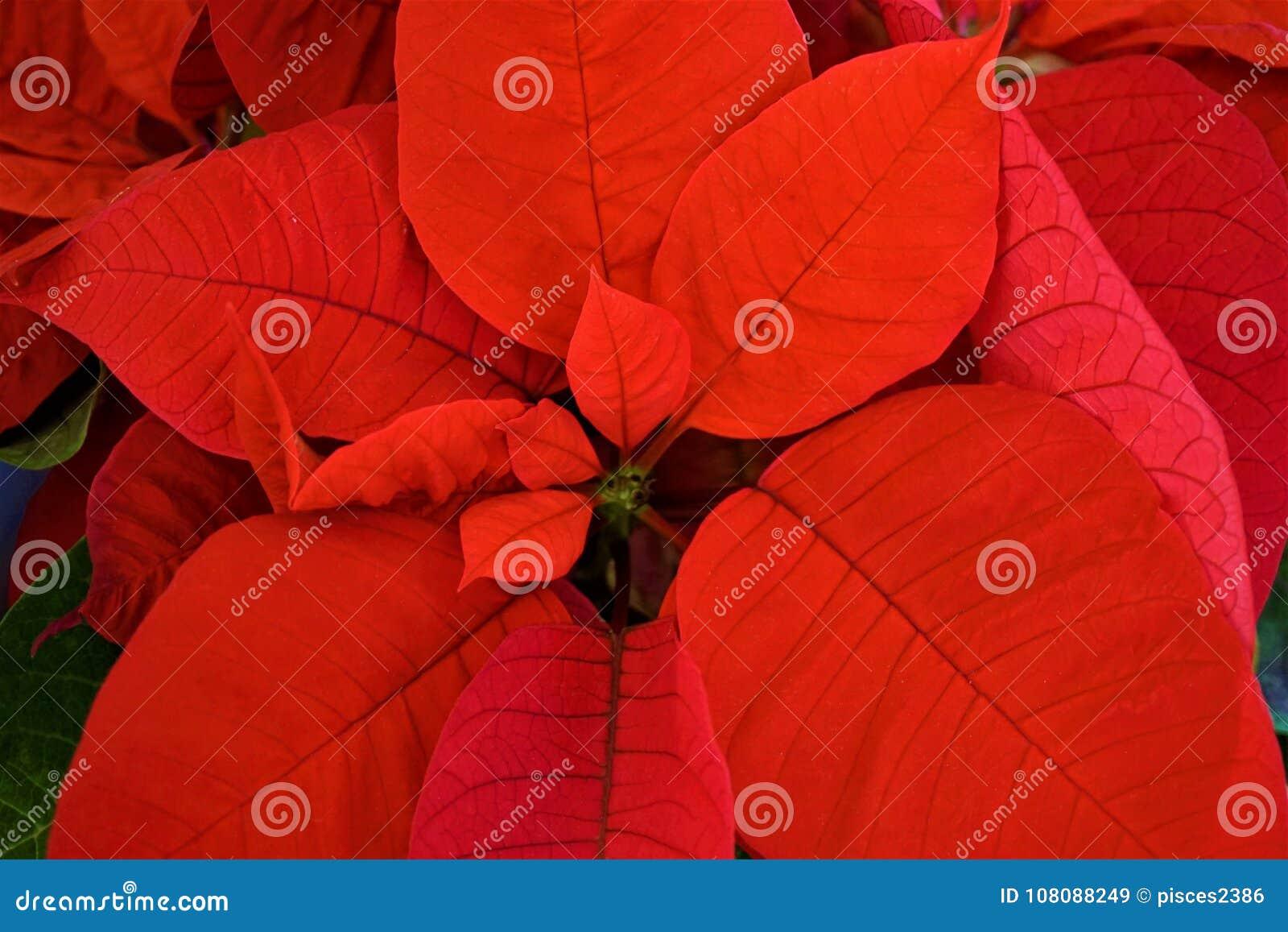 Feche acima das folhas vermelhas da poinsétia