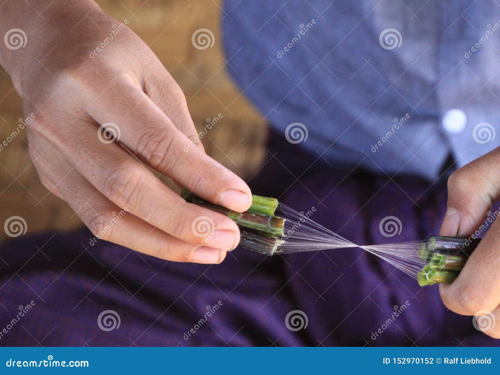 Feche acima das mãos do homem do birmanês que fazem a linha de seda da planta de lótus