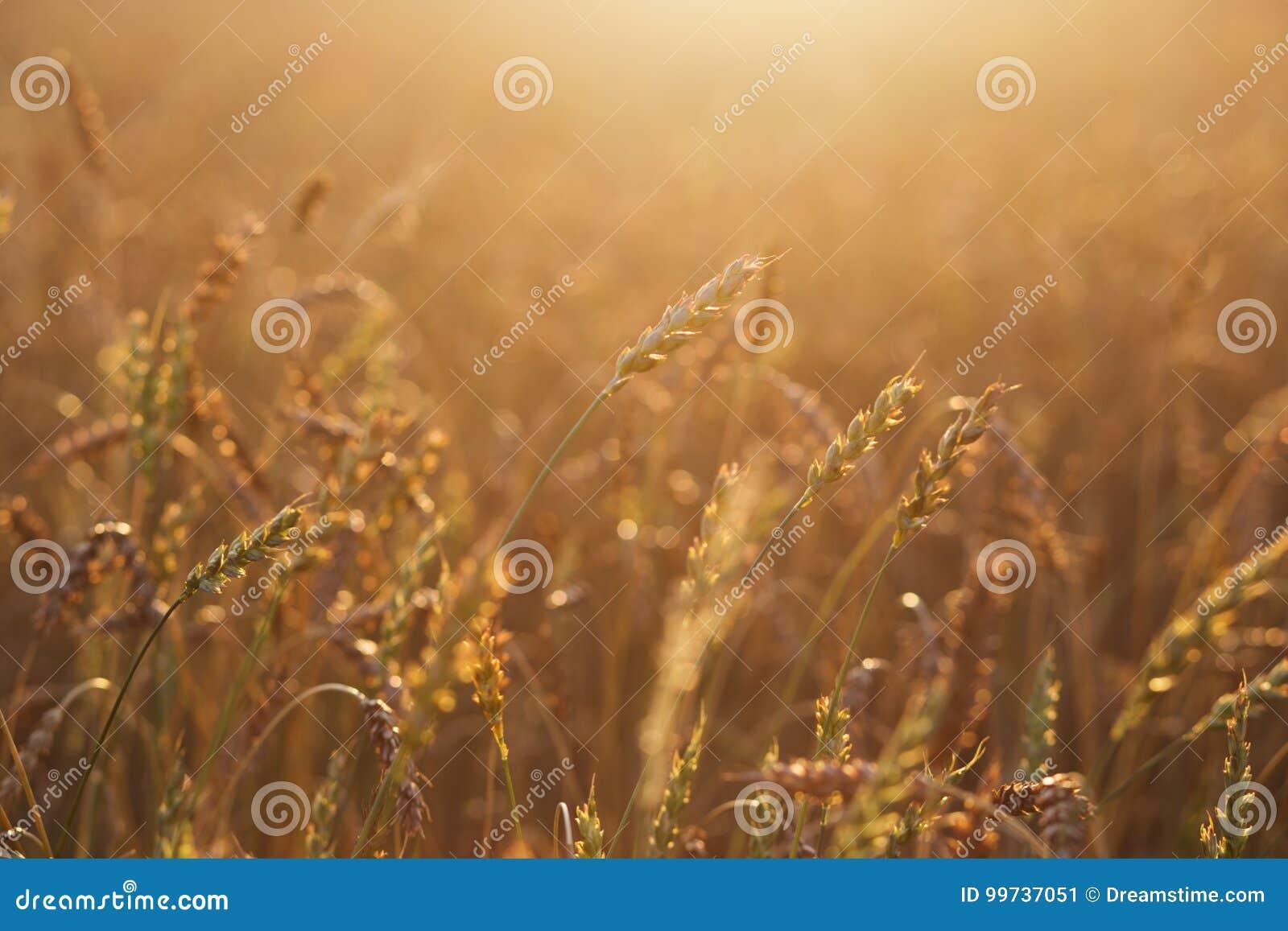 Feche acima das orelhas maduras do trigo Contexto bonito das orelhas de amadurecimento do campo dourado Fundo da natureza e bokeh