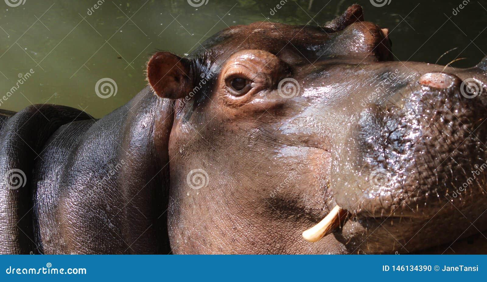Feche acima das presas mostrando principais do hipop?tamo