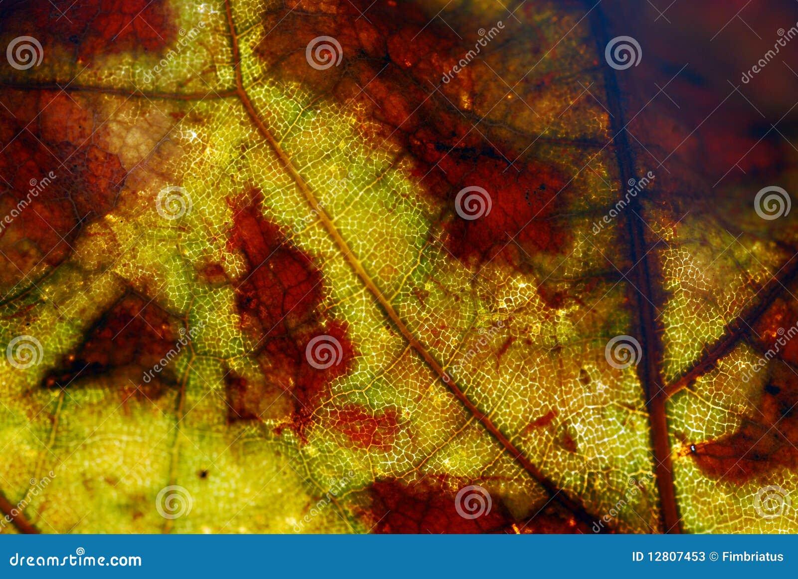 Feche acima das veias em uma folha amarela e vermelha
