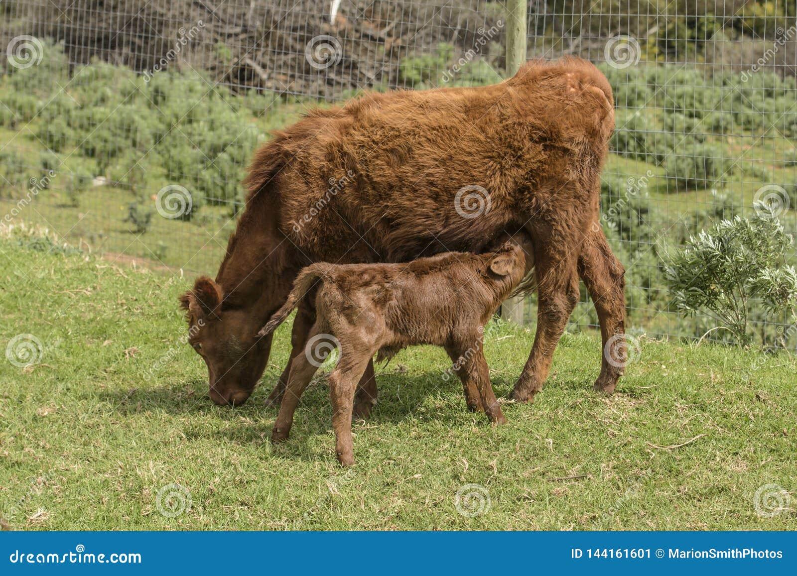Feche acima de Dexter Cow vermelho, considerado uma raça rara, pastando na grama