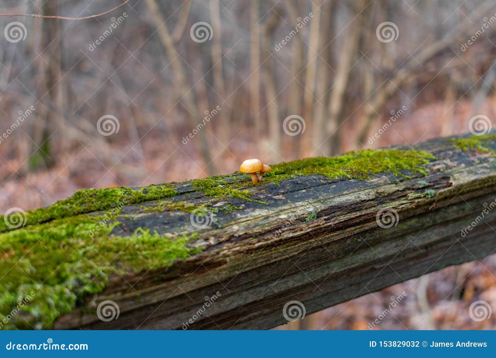Feche acima de dois cogumelos pequenos em uma cerca musgoso em uma floresta durante o inverno