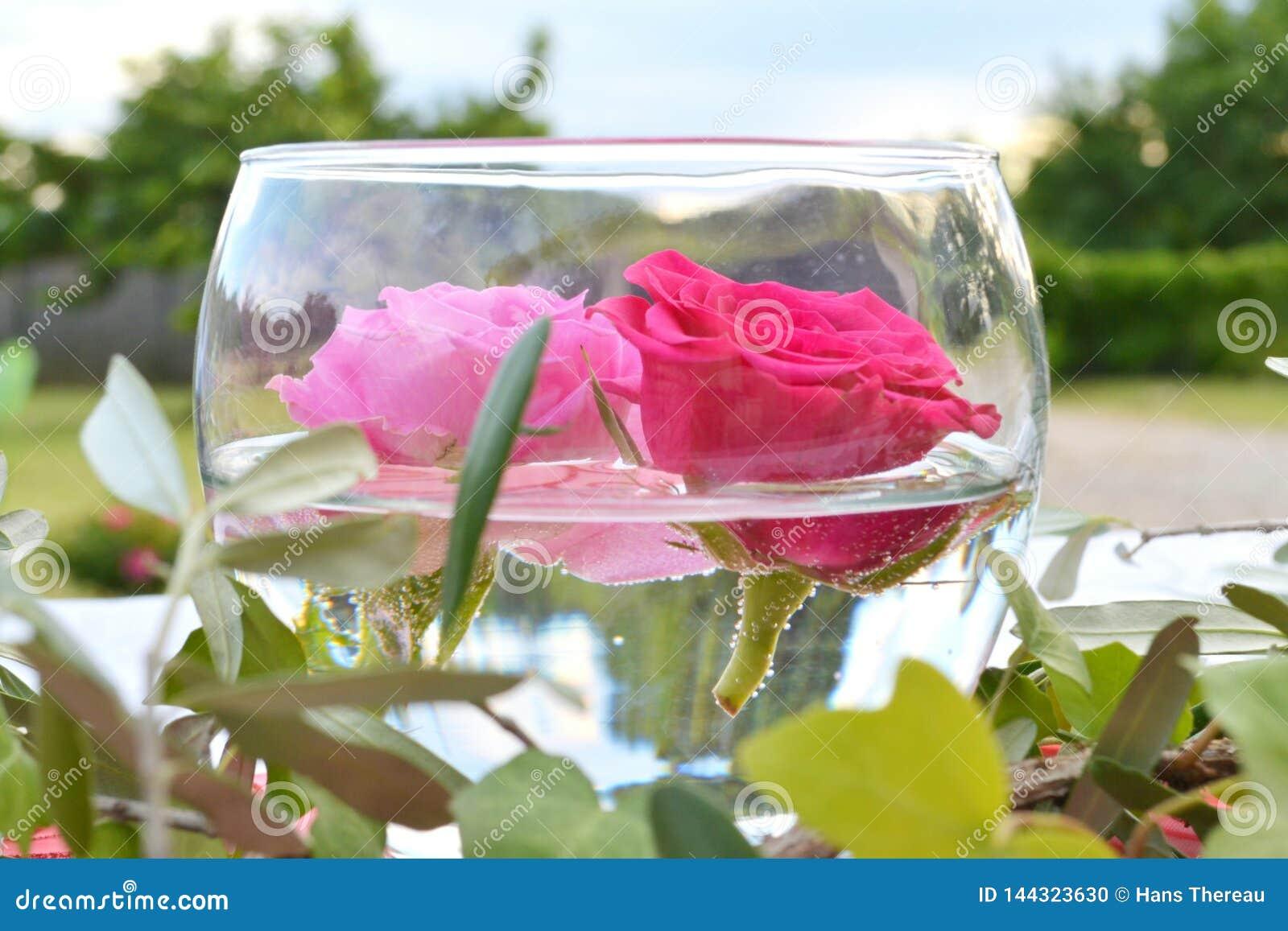 Feche acima de duas rosas que flutuam em uma bacia