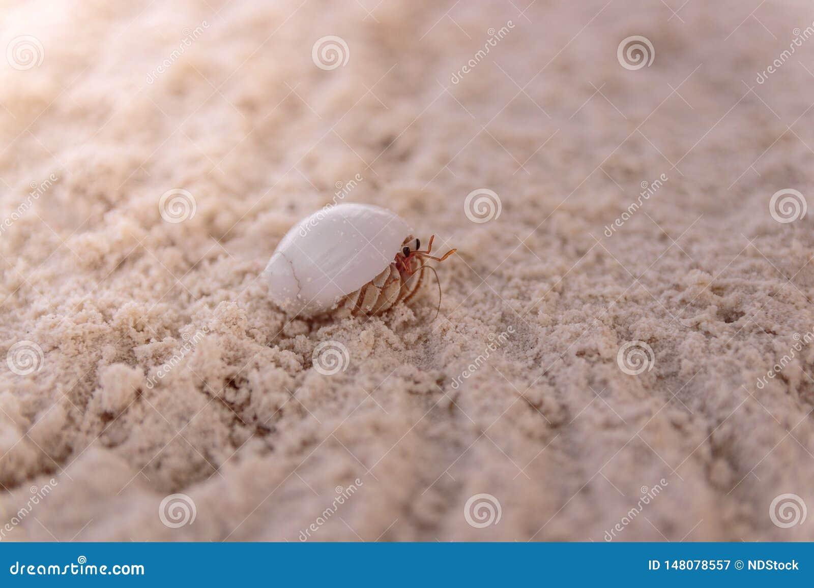 Feche acima de um caranguejo na concha do mar que anda na areia branca clara