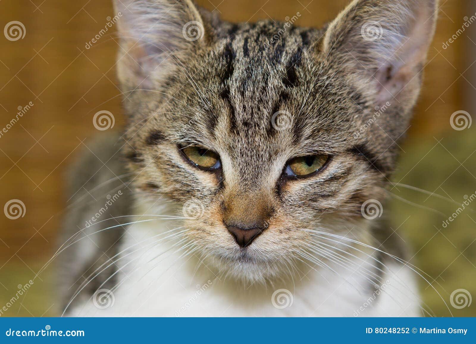 Feche acima de um gatinho irritado ou cansado