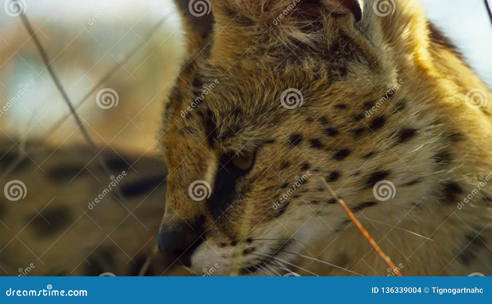 Feche acima de um gato do serval com manchado como uma chita e uns pés longos extra, savana, África