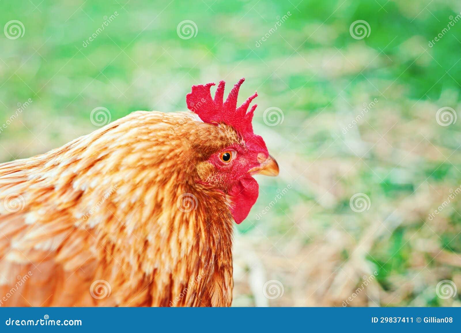 Retrato da galinha