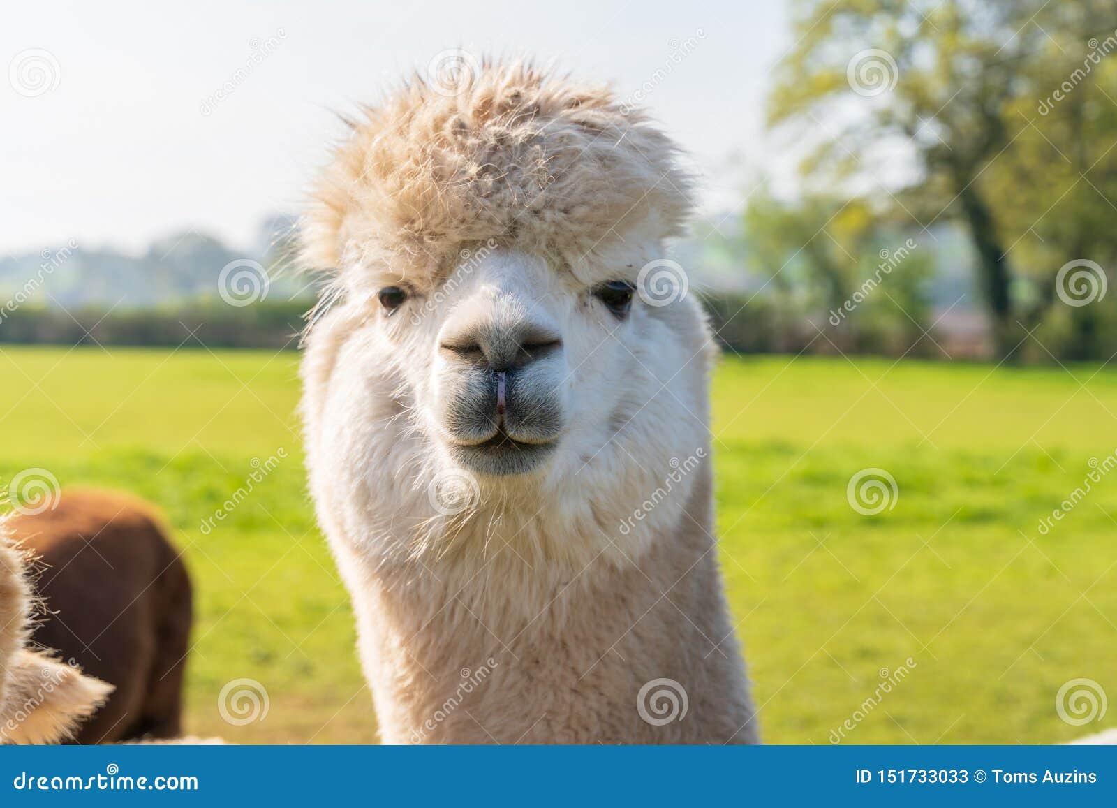 Feche acima do alpacaa branco de vista engraçado na exploração agrícola