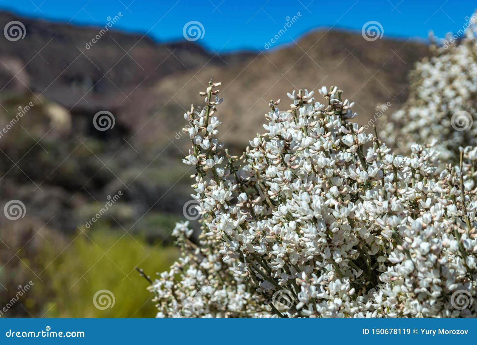 Feche acima do arbusto endêmico de florescência Flores brancas de rhodorhizoides do Retama Parque nacional Teide, Tenerife, Ilhas