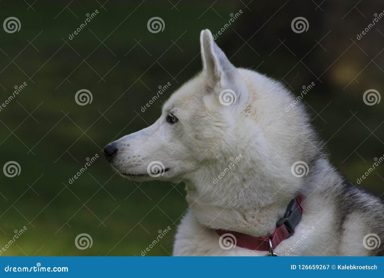 Feche acima do cão de puxar trenós bonito do cão, a raça ártica magestic