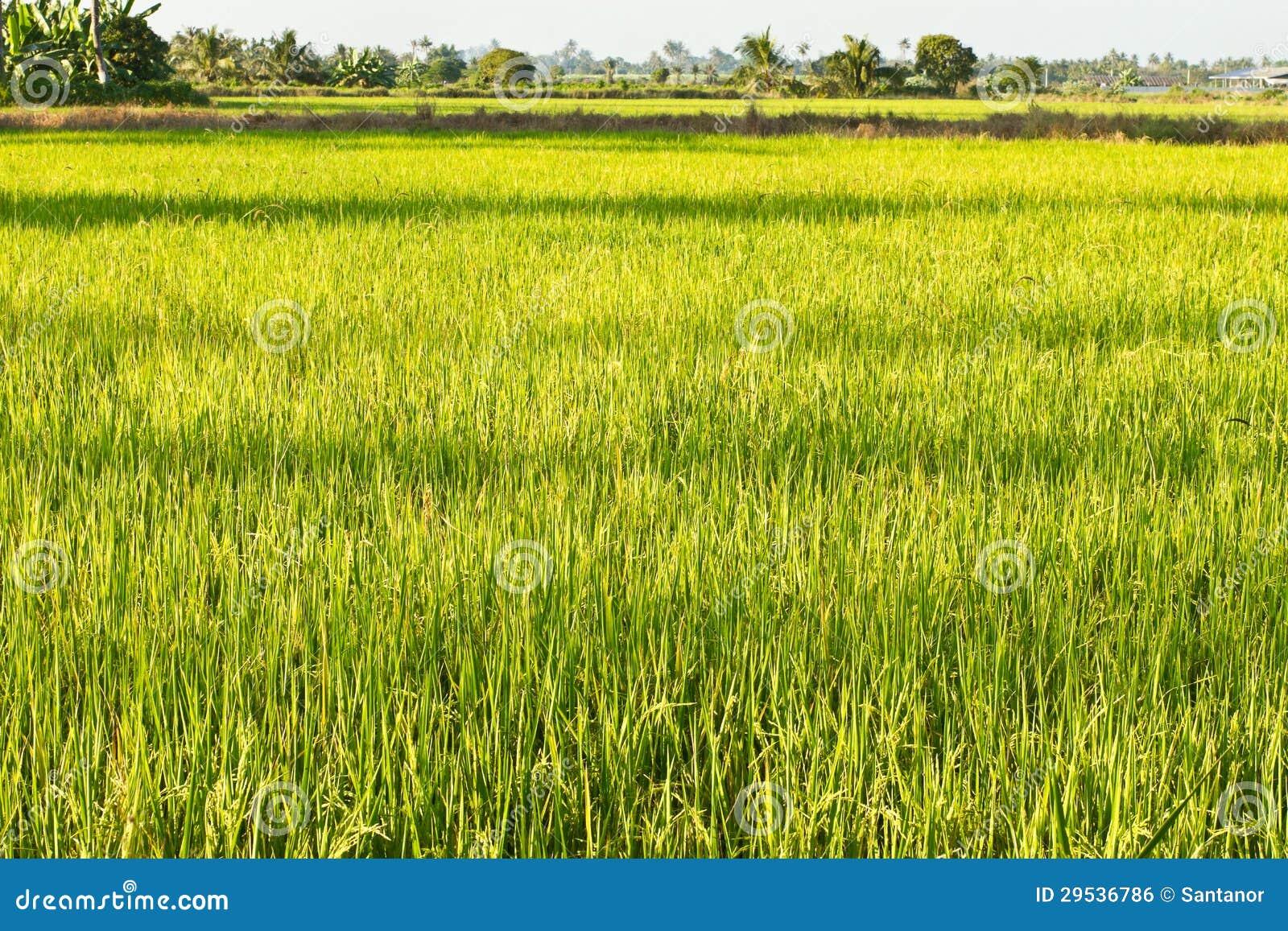Feche acima do campo do arroz