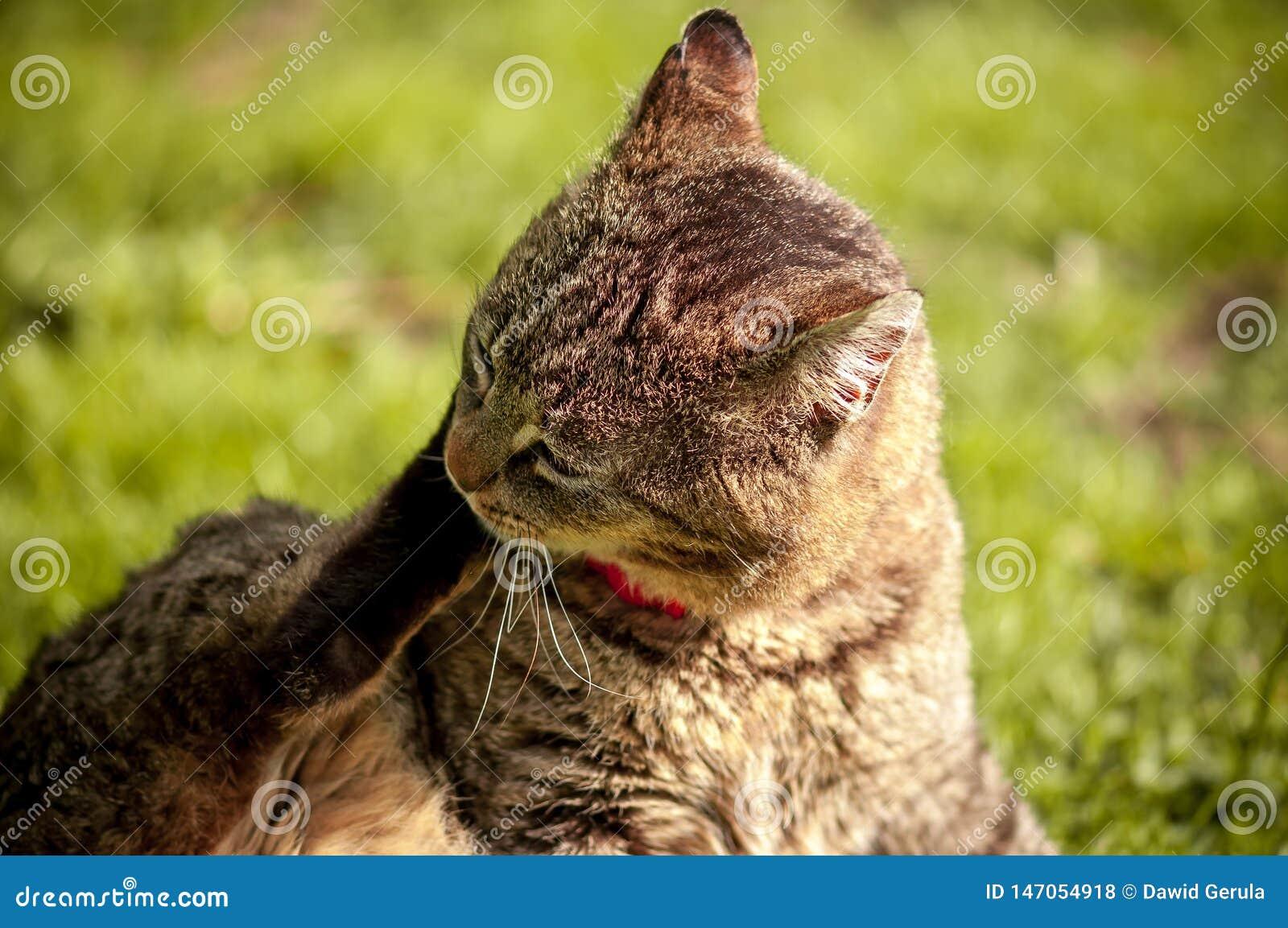 Feche acima do gato que senta e que risca sua cabeça com a pata no fundo verde