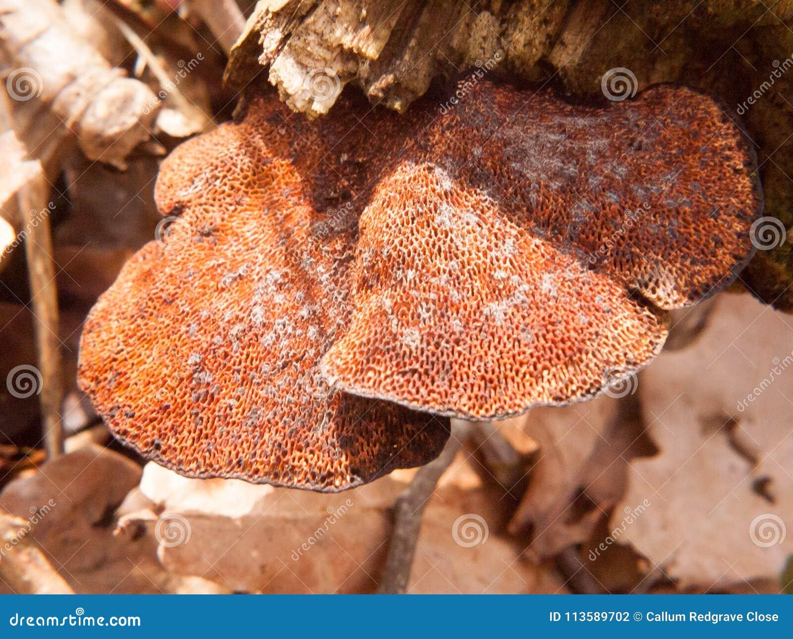 Feche acima do lado de baixo do detalhe do macro do coto de árvore do cogumelo do suporte do polypore
