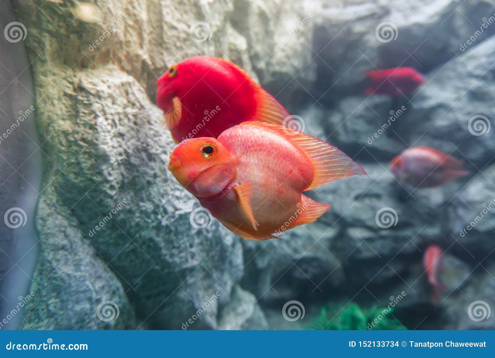 Feche acima do synspilus do citrinellus x Paraneetroplus de Amphilophus dos peixes de cichlidae do papagaio do sangue