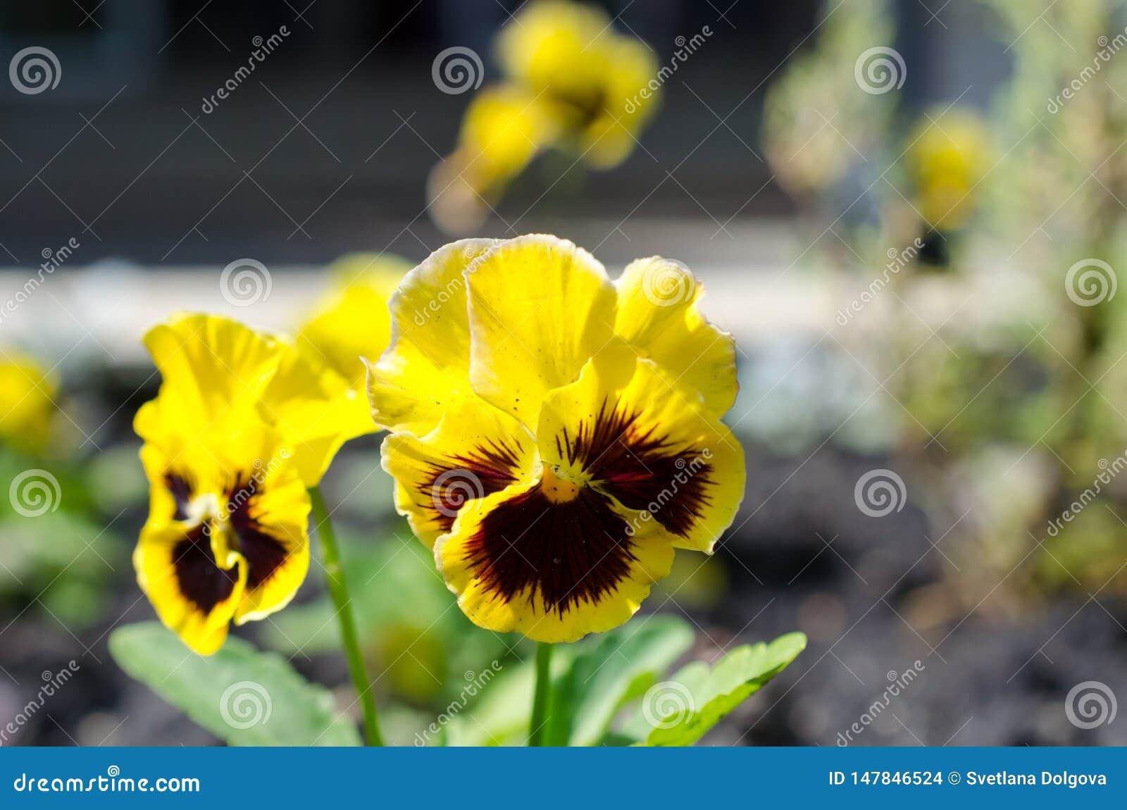 Feche acima dos pansies amarelos que crescem no jardim