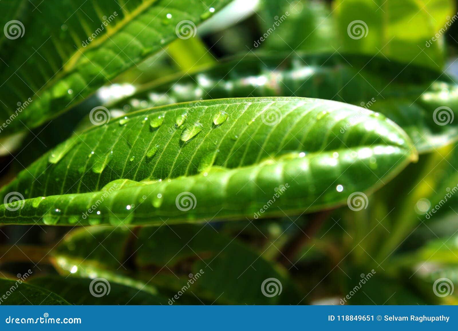 Feche acima dos waterdrops da folha verde fresca