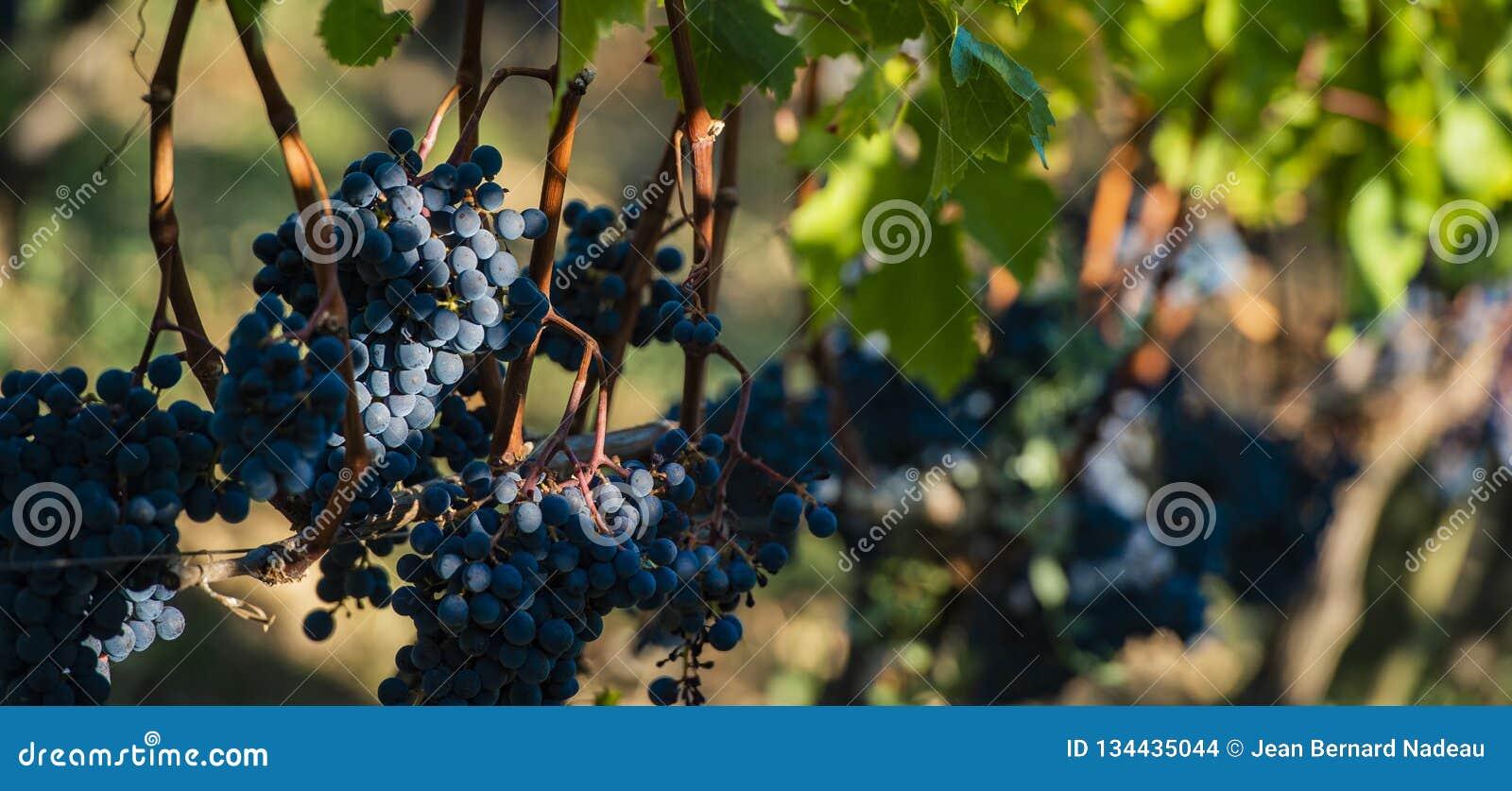 Feche acima em uvas pretas vermelhas em um vinhedo, conceito da colheita da uva