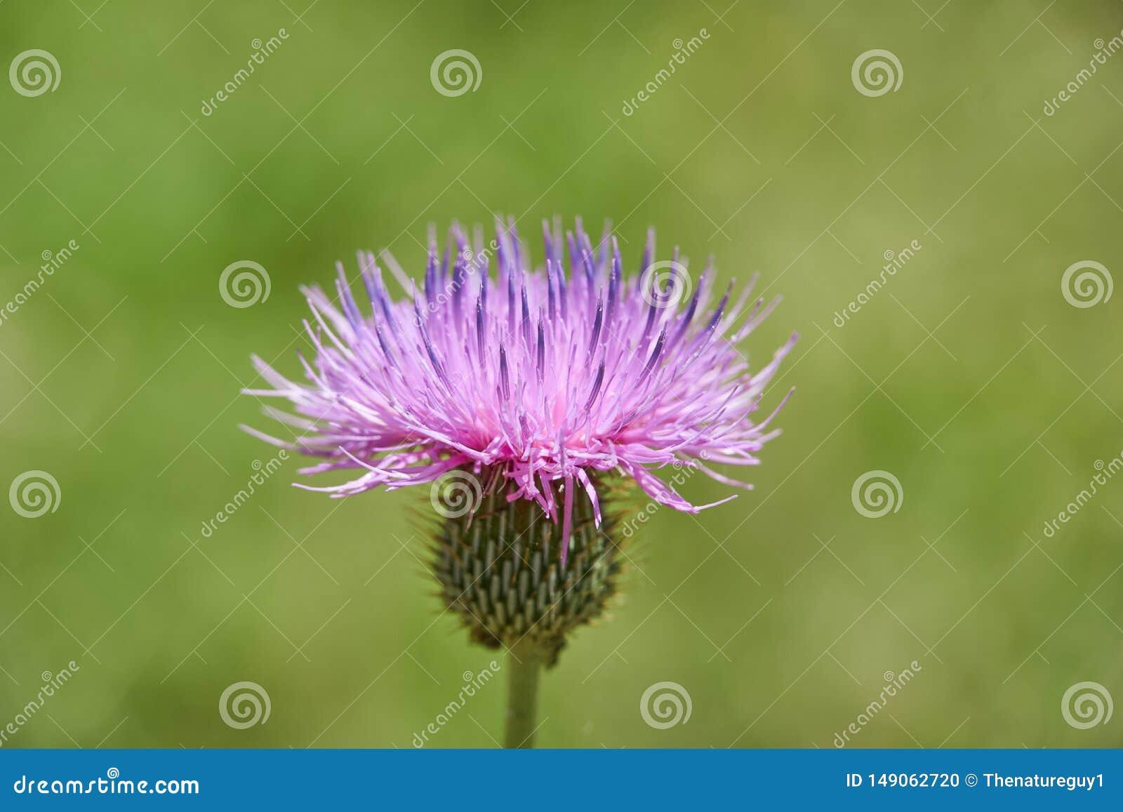 Feche acima o macro do texanum cor-de-rosa bonito isolado do Cirsium da flor de Texas Thistle