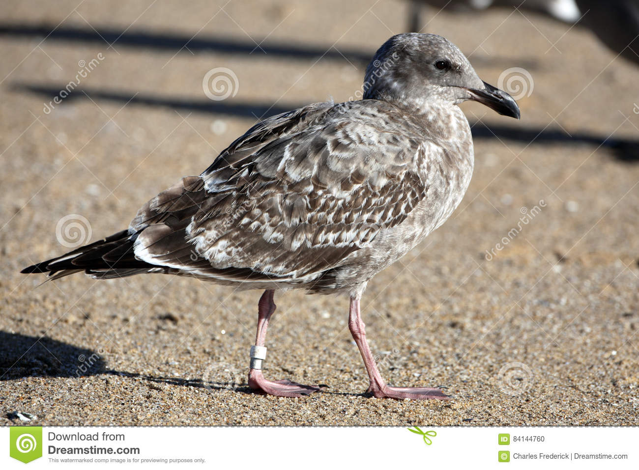Federal Gov Tagged-Banded Bird Stock Photo - Image of grain