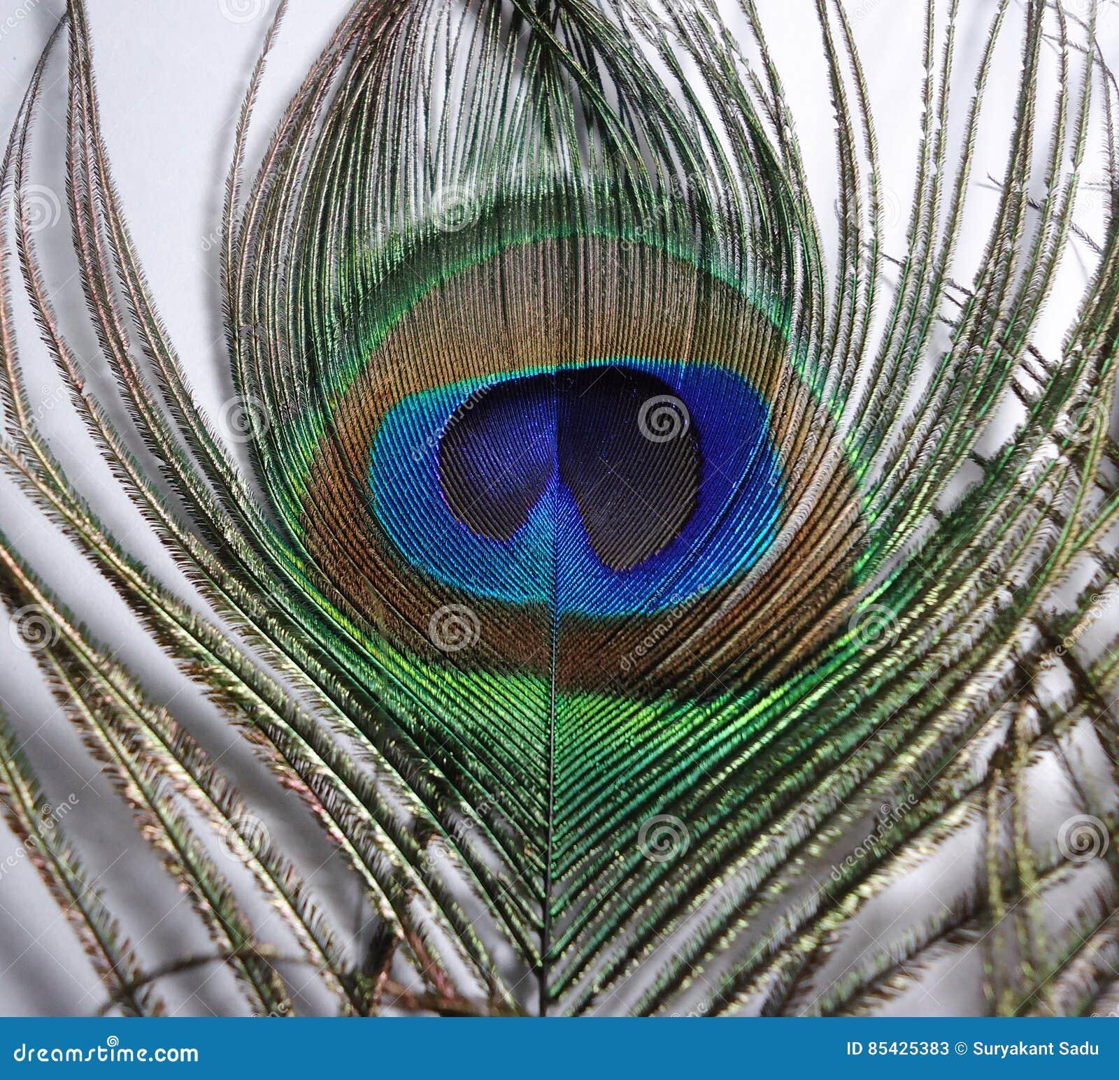 Federn des Pfaus oder des Peafowl