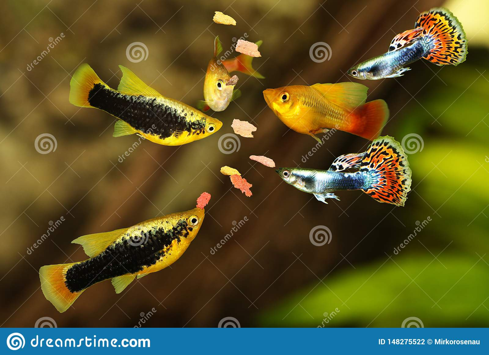 Feeding aquarium fish eating flake food swarm feeding tetra aquarium fish
