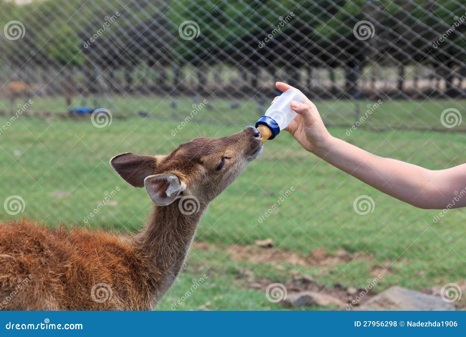 Feeding Baby Goat Royalty Free Stock Photos Image 27956298