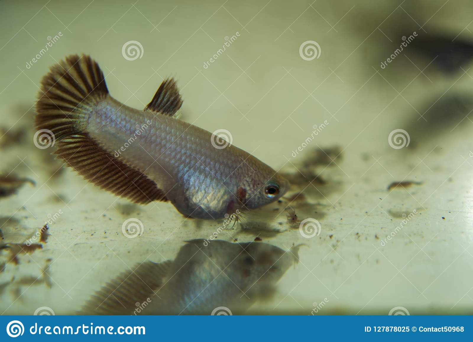 Information on Caring for Your Siamese Fighting Fish