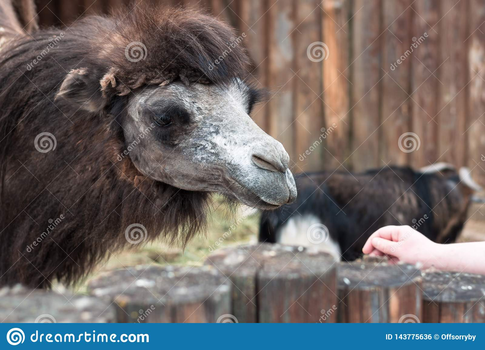 Feeding of beautiful camels in the contact zoo