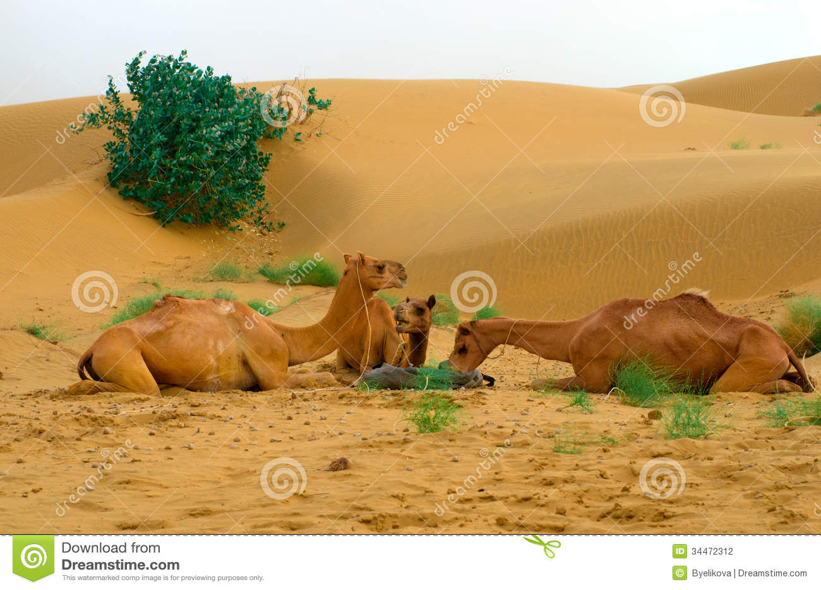 Feeding camels in a desert