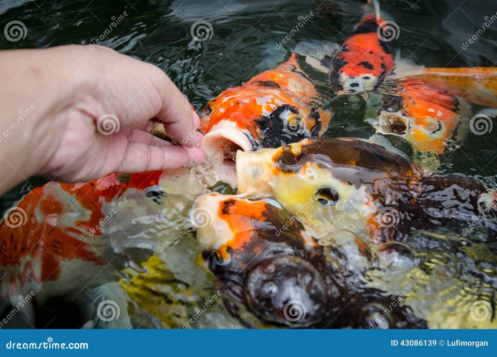 Feeding carp by hand stock photo image 43086139 for What to feed koi carp