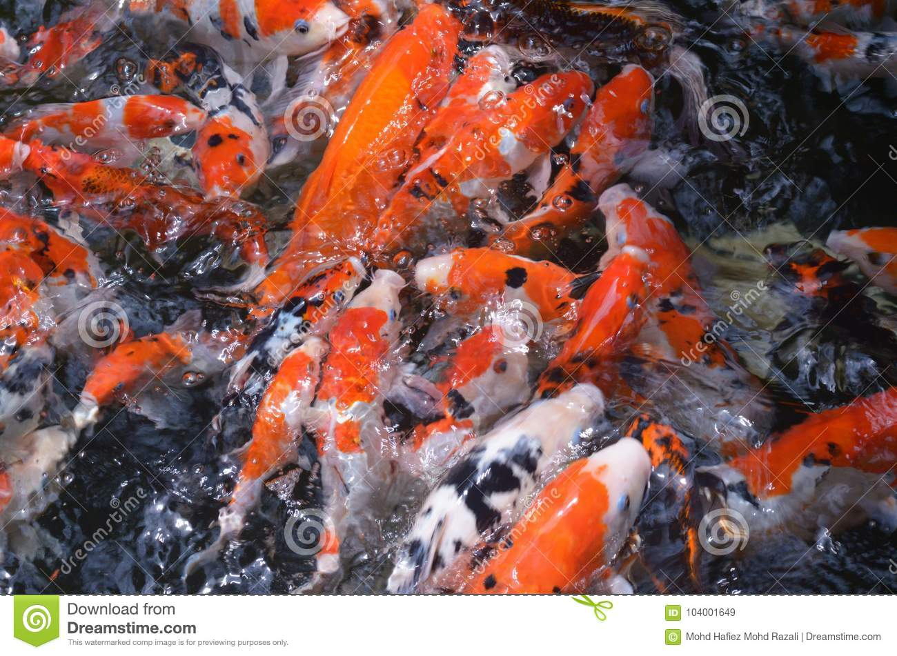 Feeding Carp / Koi Fish In Pond / Pool Stock Image - Image of ...