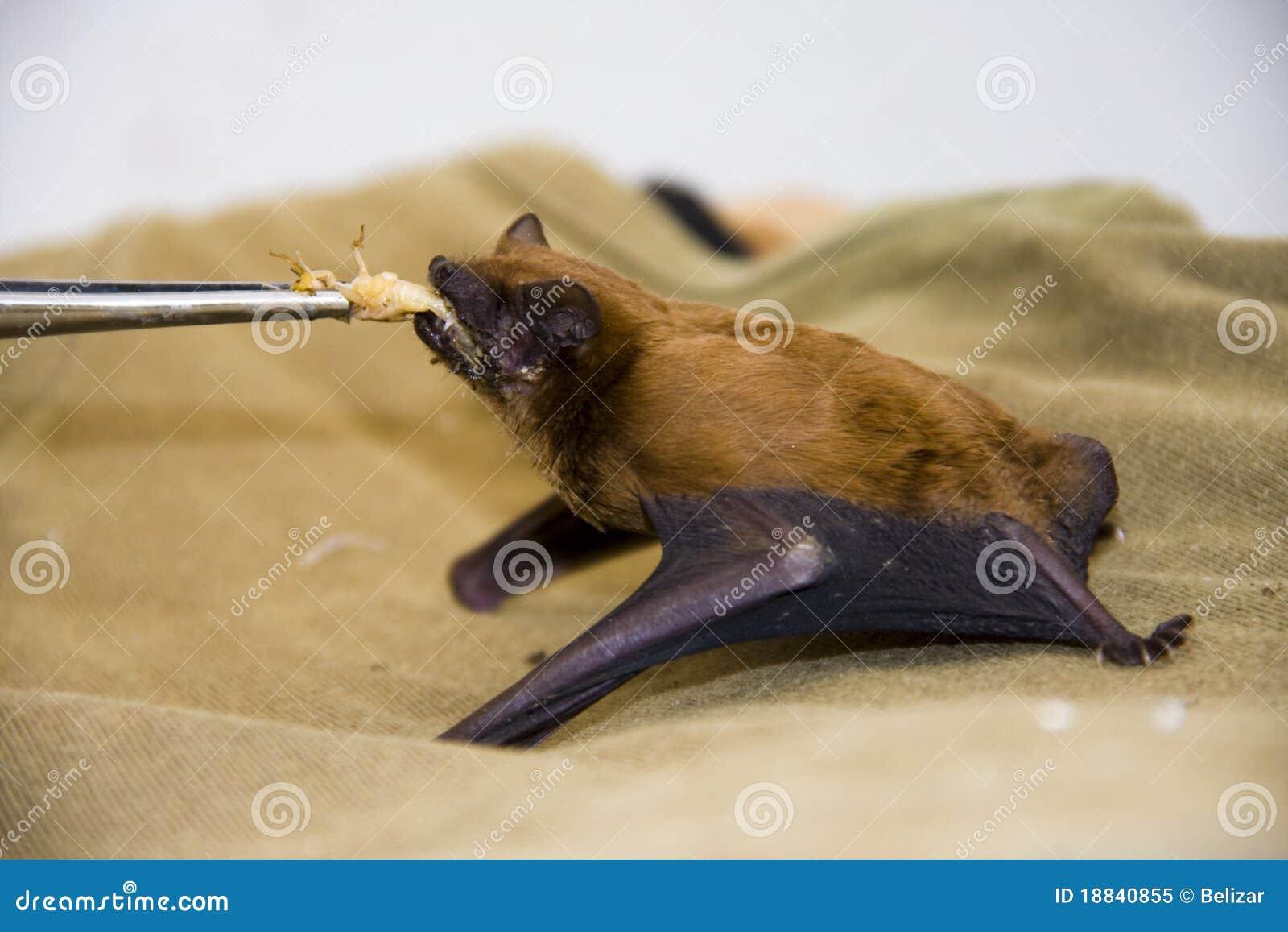 Feeding a common noctule (Nyctalus noctula)