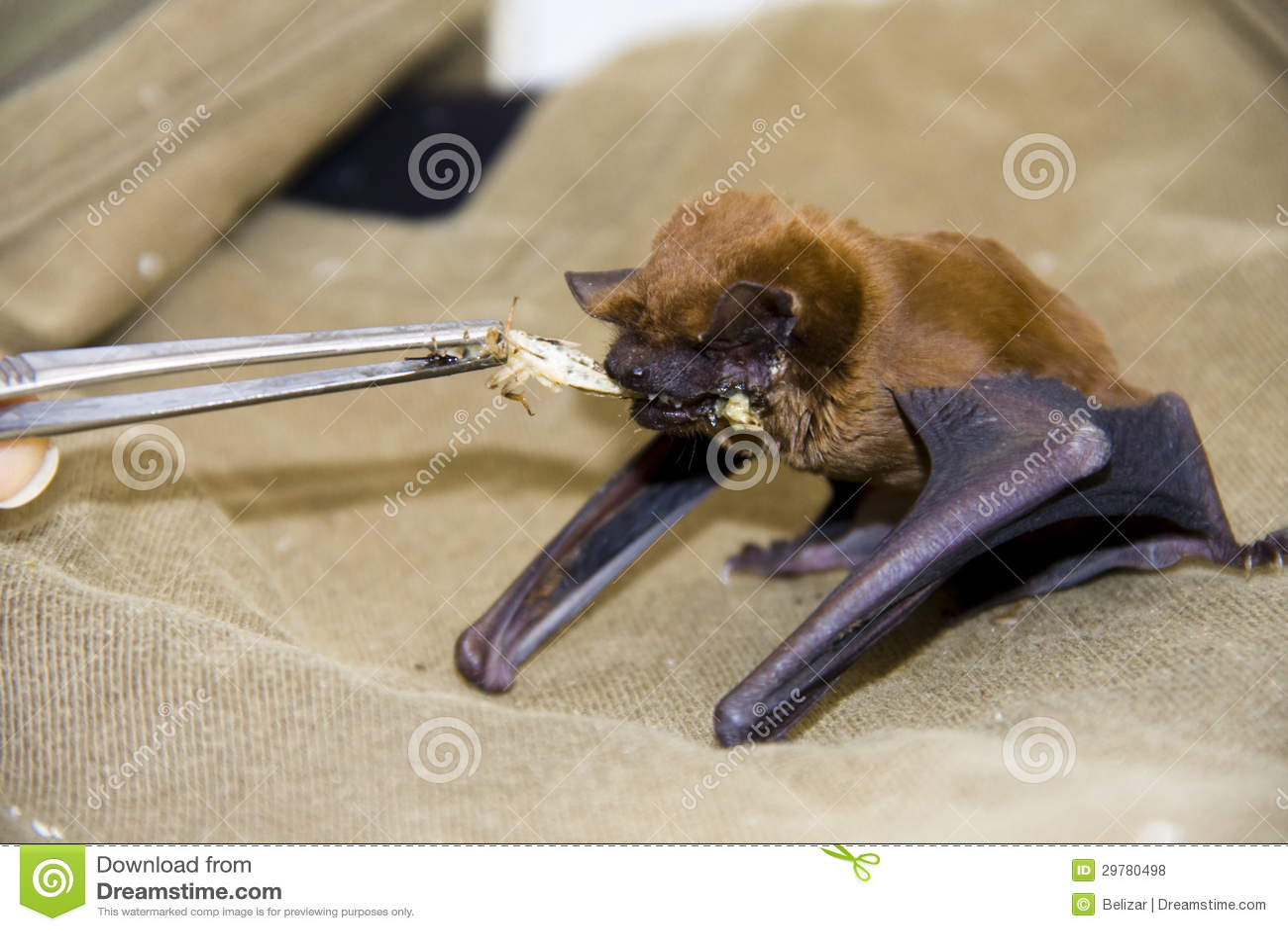 Feeding a bat