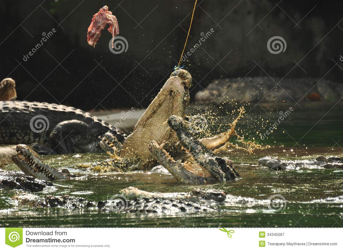 Feeding Crocodile Royalty Free Stock Photography - Image: 34345067