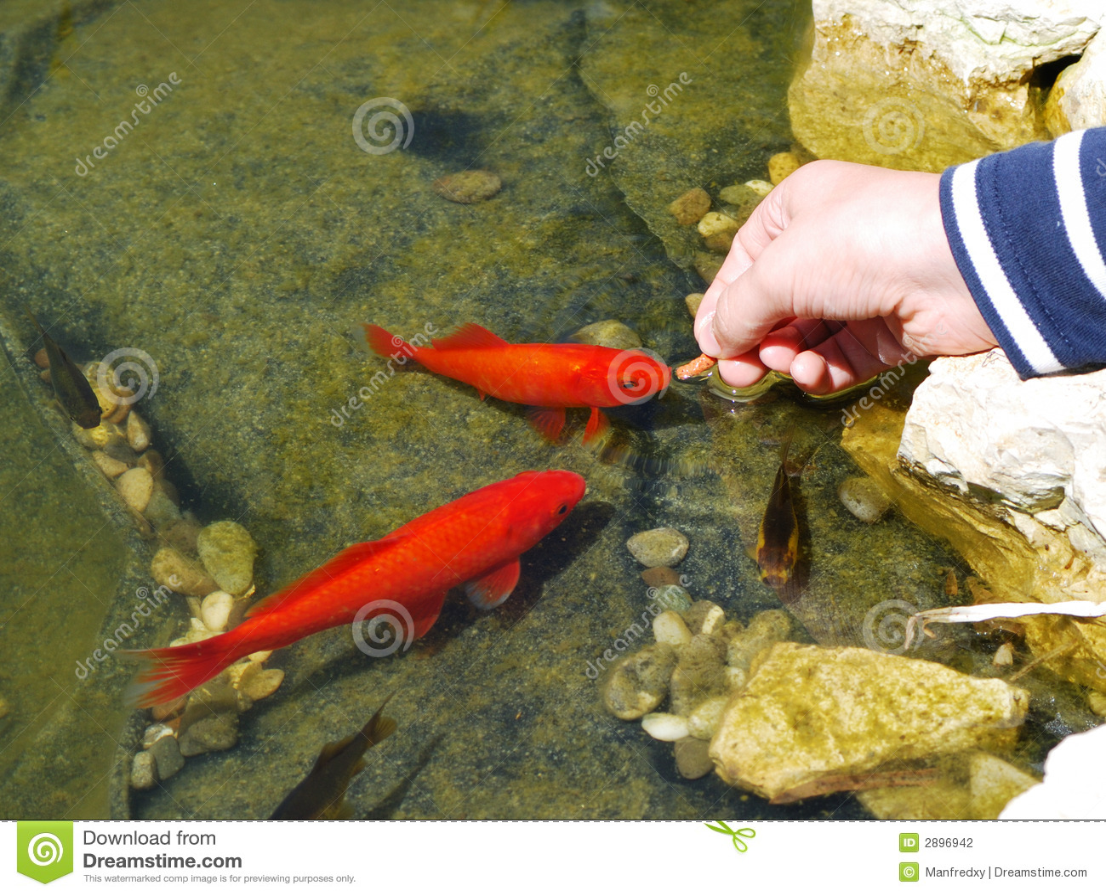 Feeding fish stock photo image of orange fishes fish for How often to feed fish