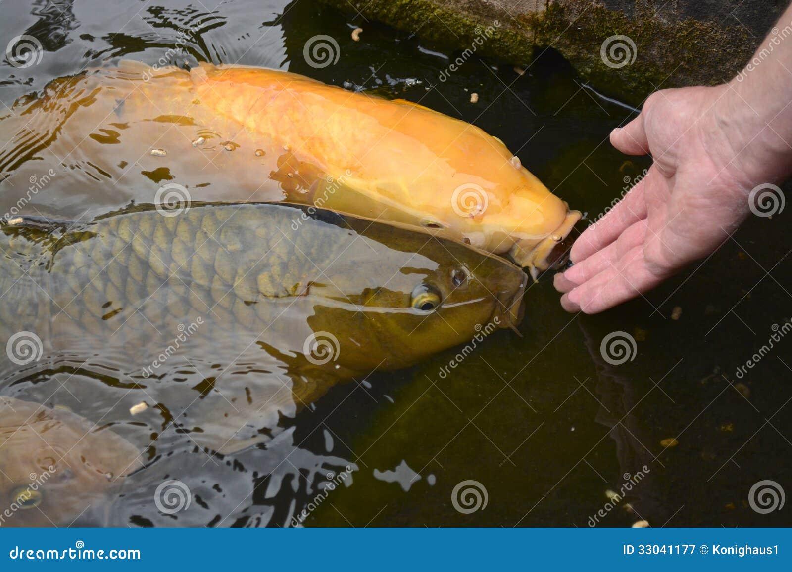 Feeding Fish Royalty Free Stock Photography Image 33041177