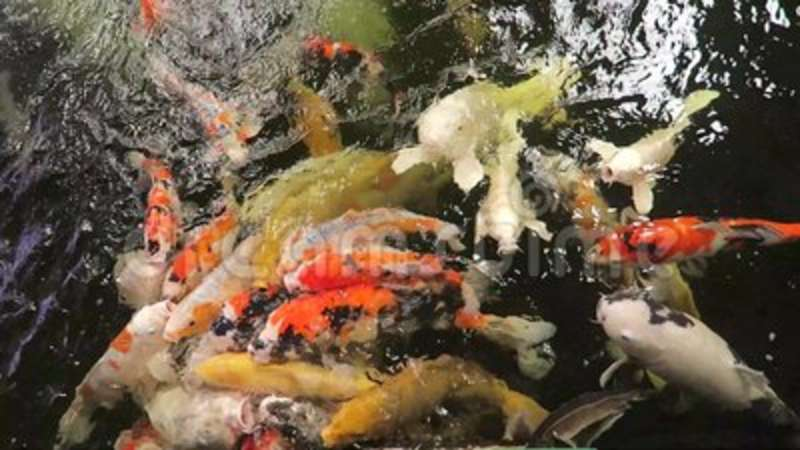 Feeding The Fish Stock Footage Video Of Pellets Colours 125977190