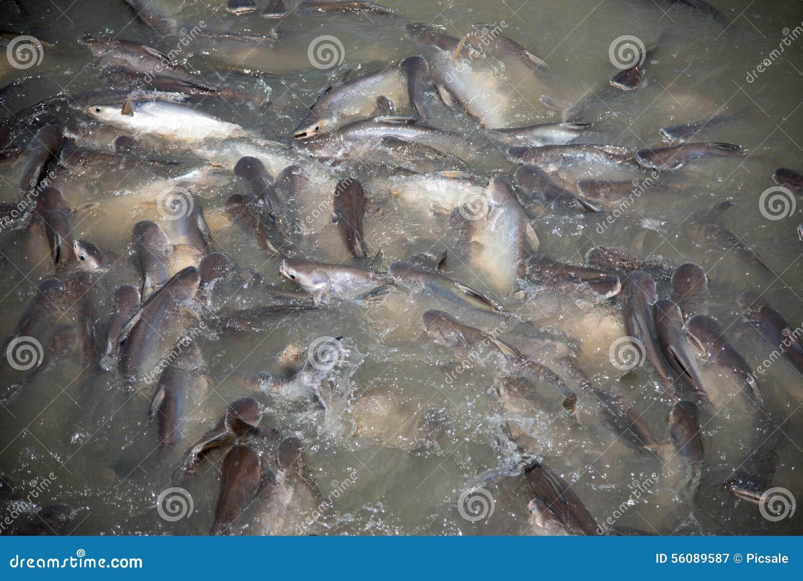 Feeding frenzy of fish stock photo image 56089587 for Feeding frenzy fish