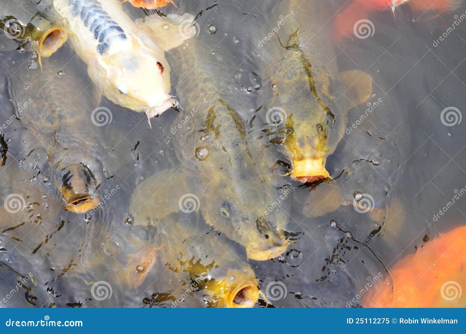 Feeding koi royalty free stock photo image 25112275 for Feeding koi fish