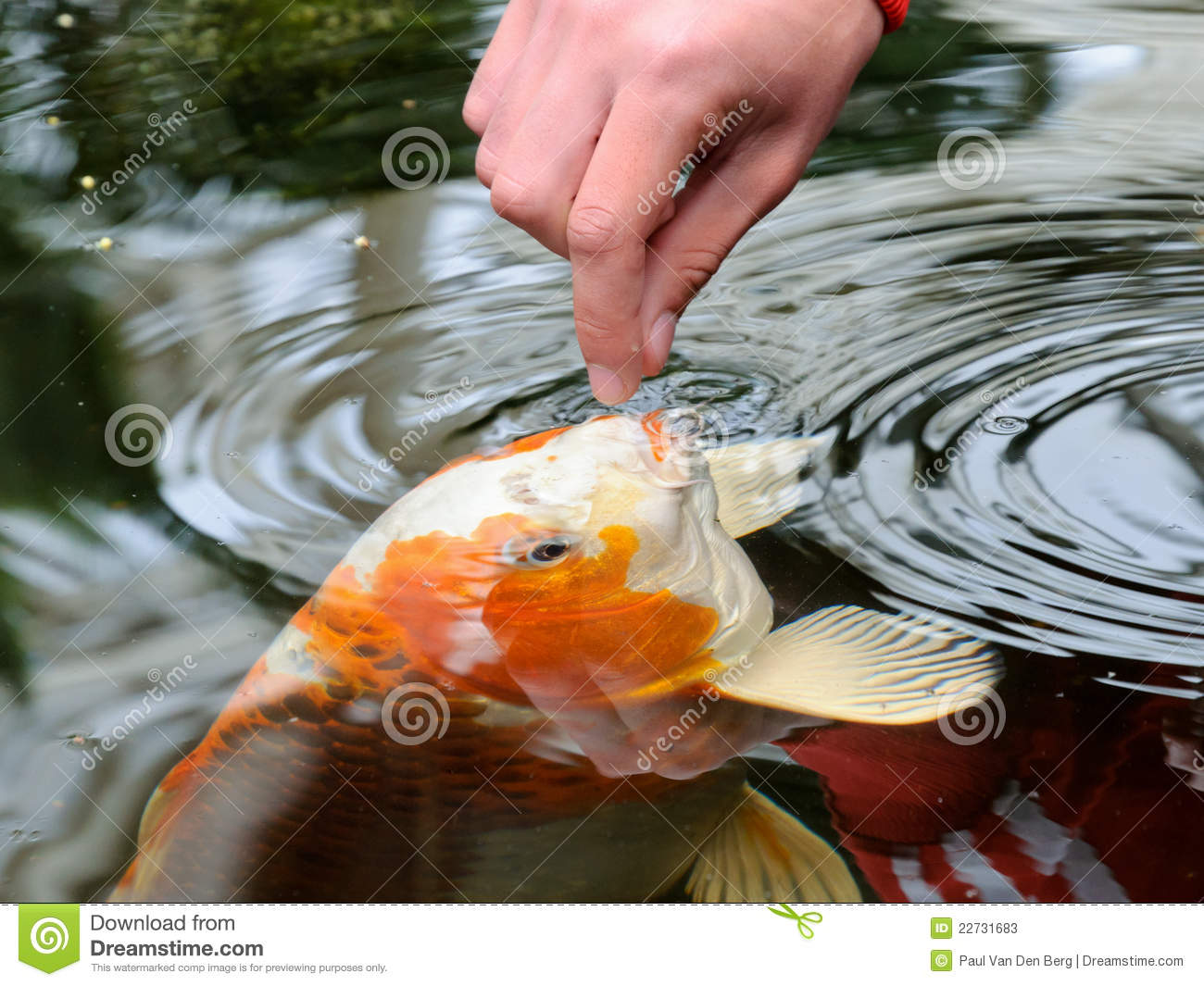 feeding koi carp stock photos image 22731683