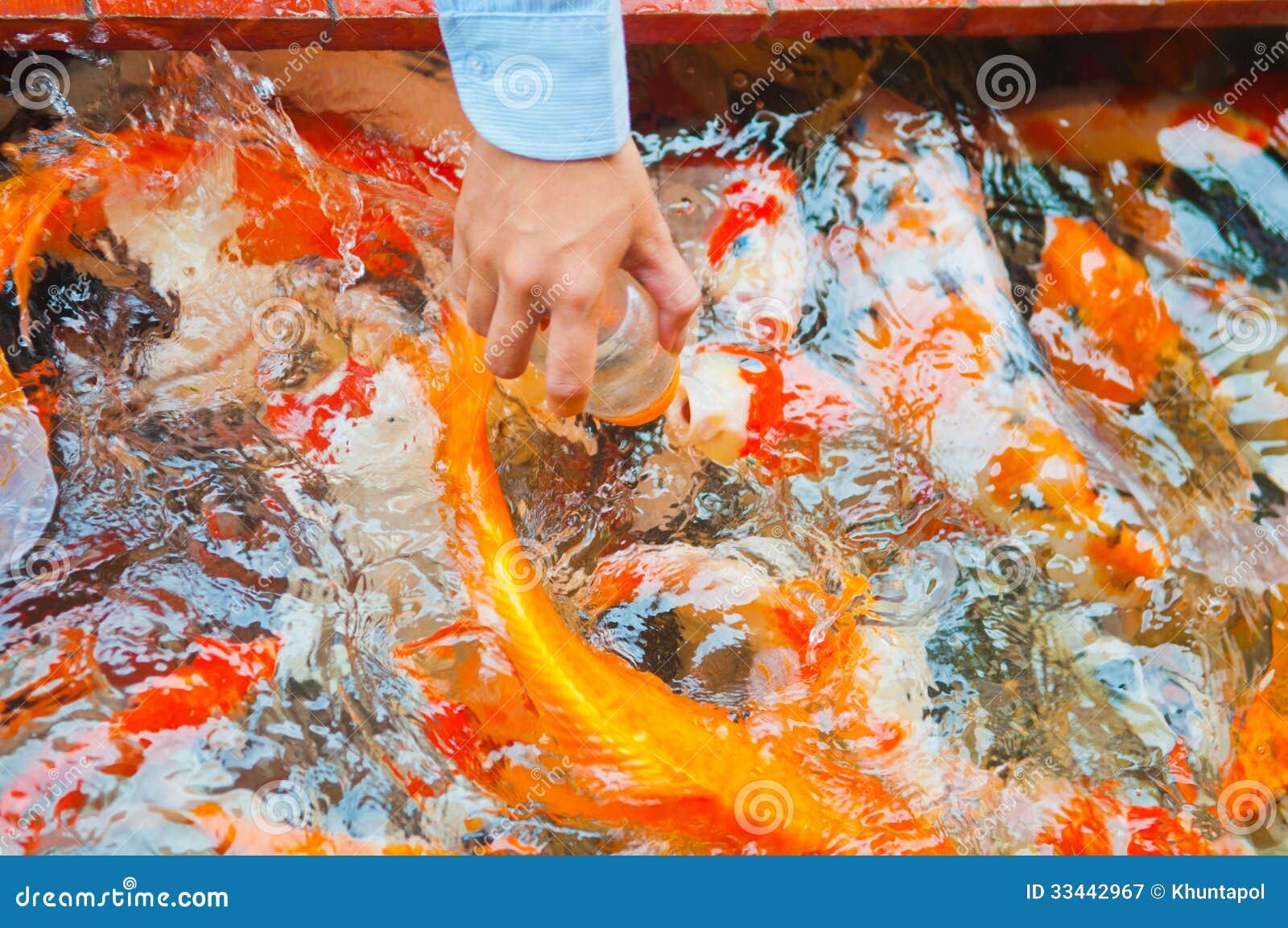 Feeding koi fish with milk bottle royalty free stock for What to feed baby koi