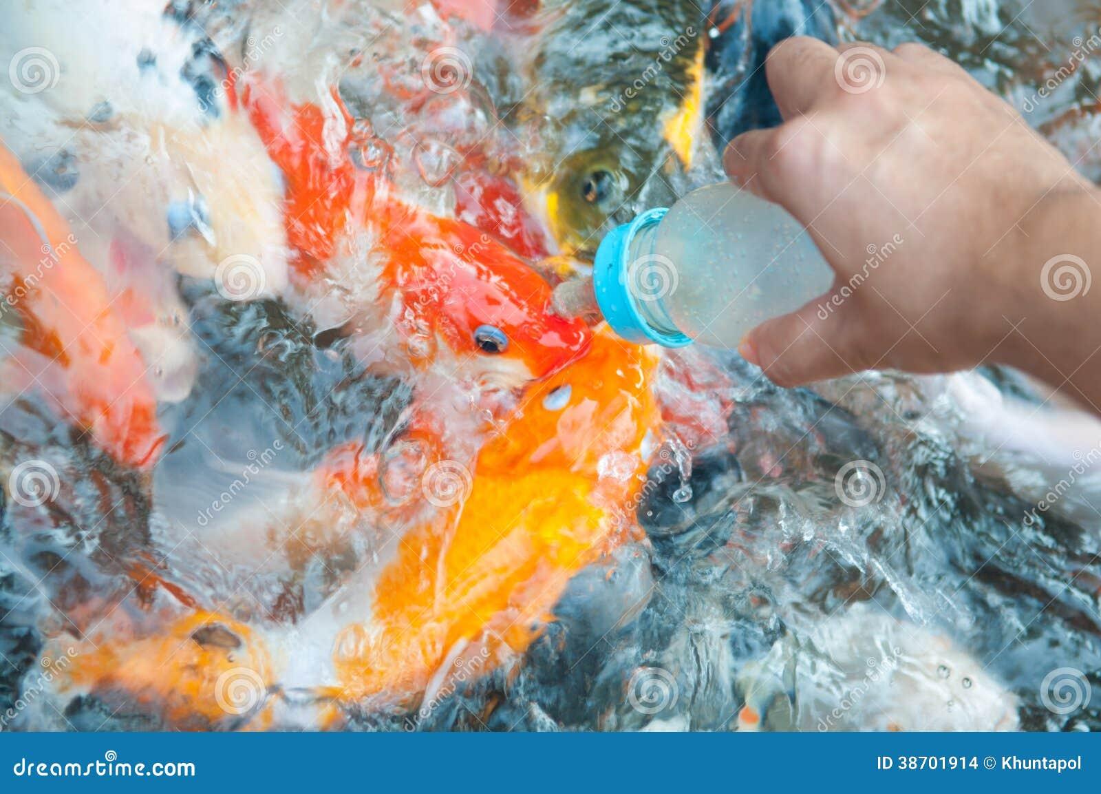 Feeding Koi Fish With Milk Bottle Stock Images Image