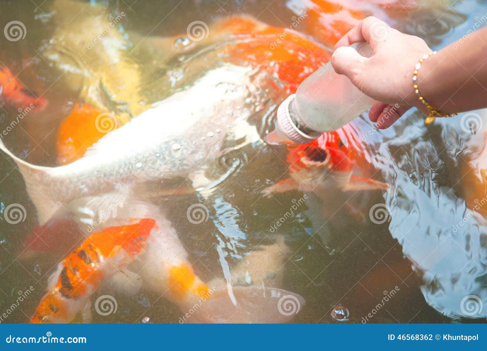 Feeding Koi Fish With Milk Bottle Stock Photo