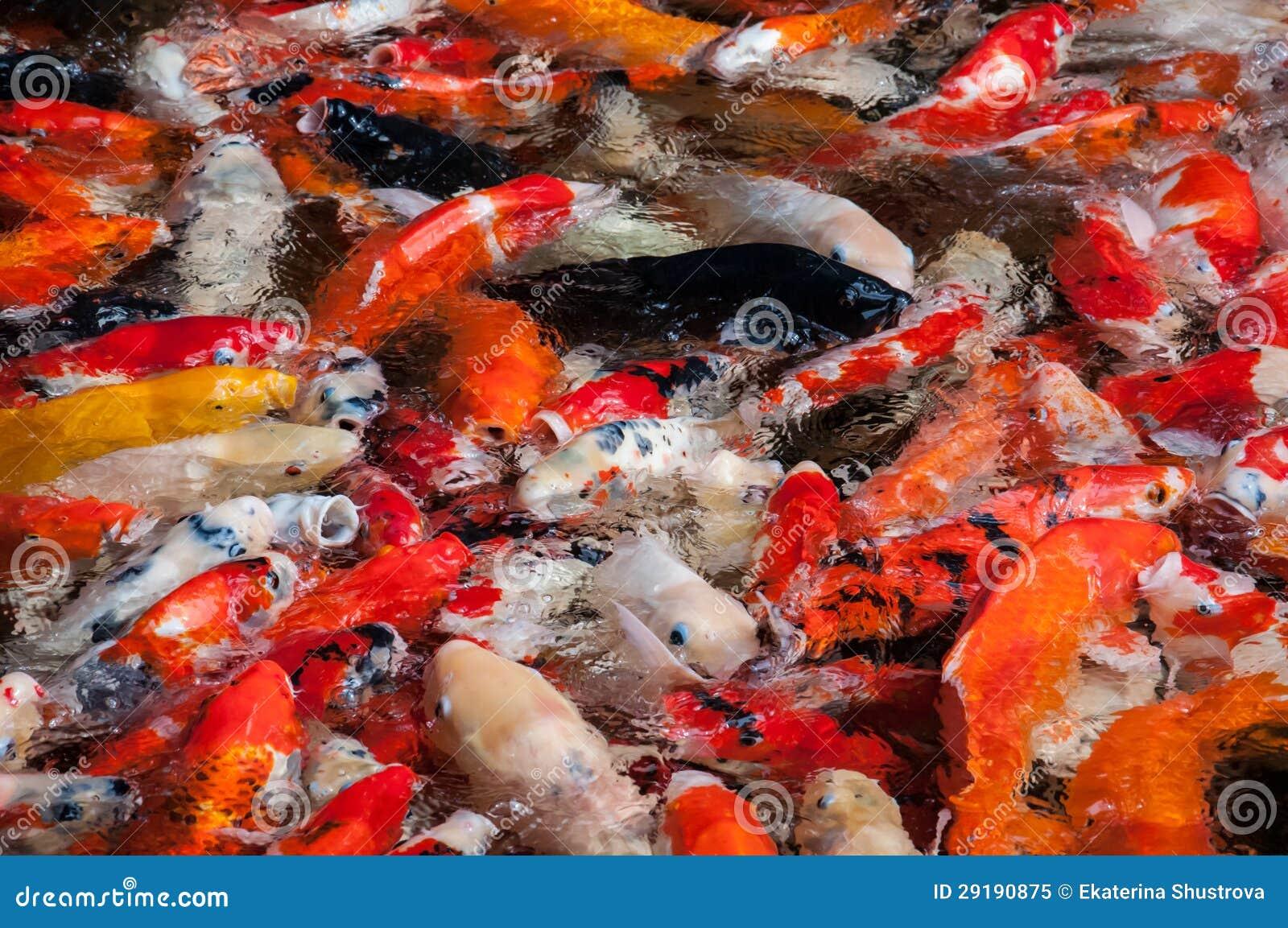 Feeding koi fishes royalty free stock photo image 29190875 for Feeding koi fish