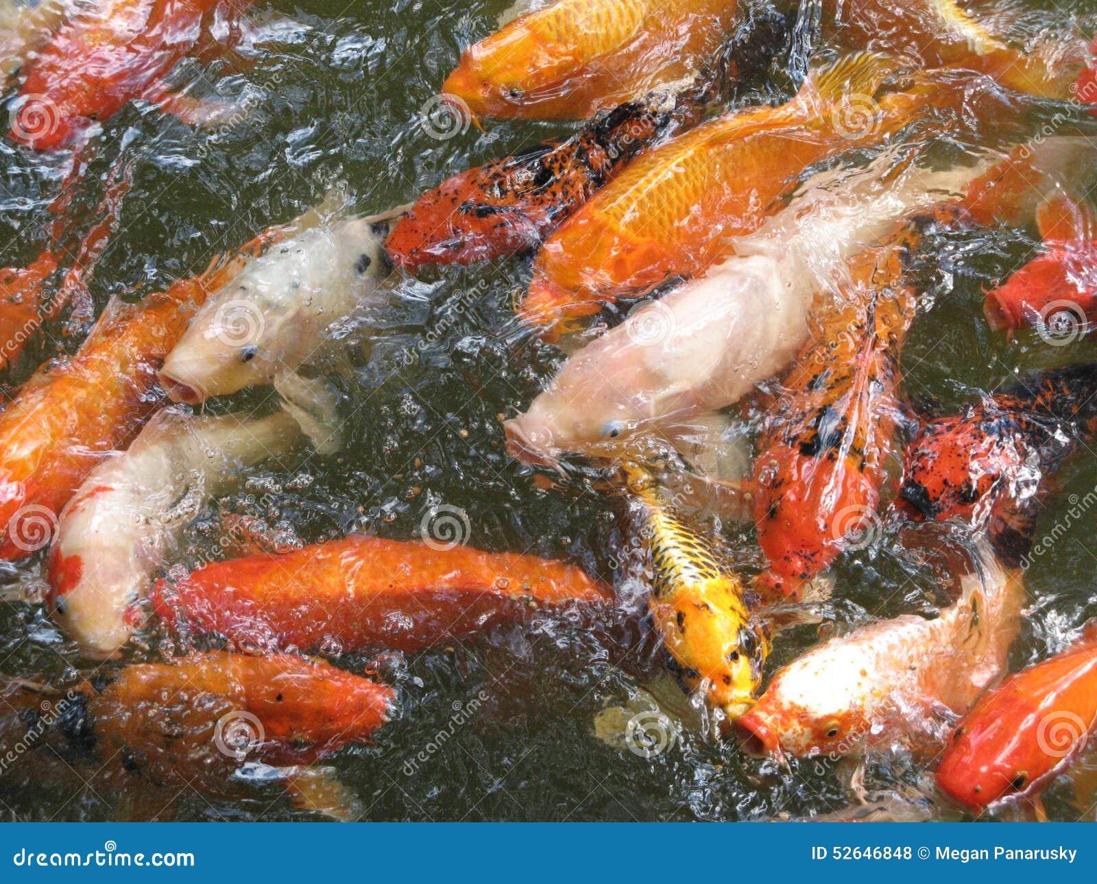 Feeding Koi Stock Photo Image 52646848