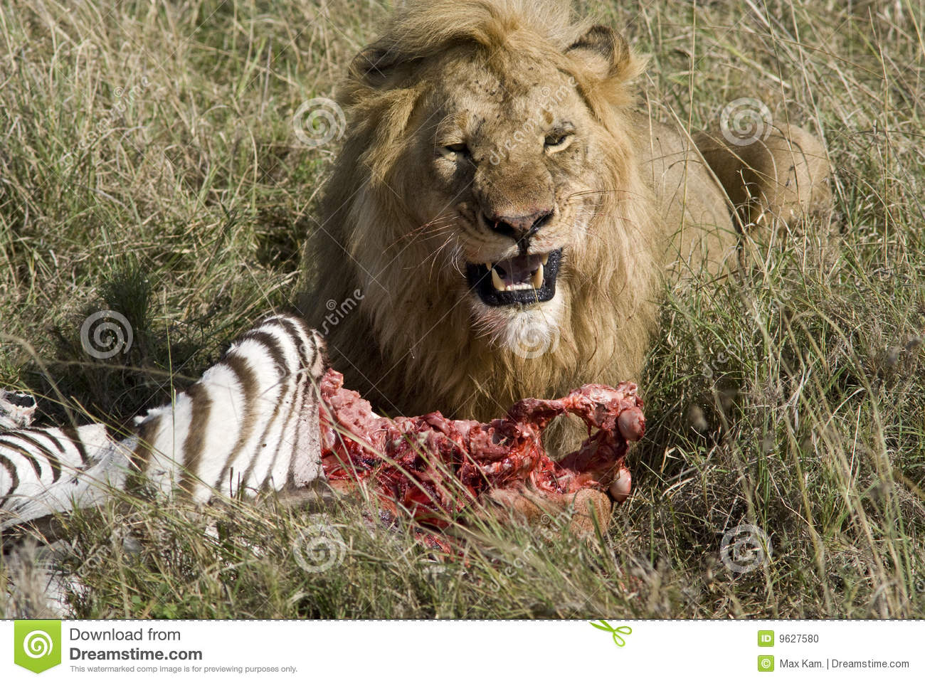 Feeding Lion Stock Photo Image 9627580