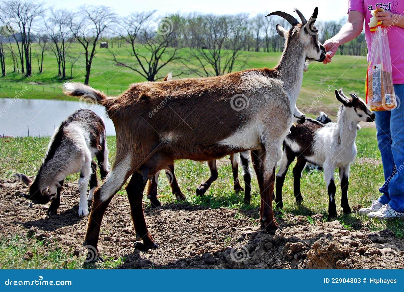R Goats Good Pets Feeding Pet goa...